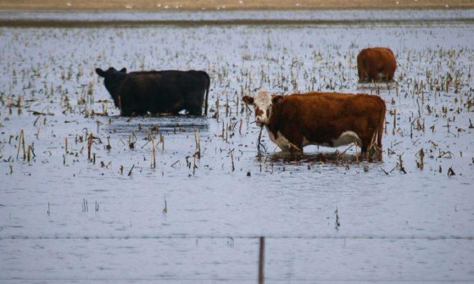 Livestock - Flood